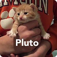 Adopt A Pet :: Pluto - Herndon, VA