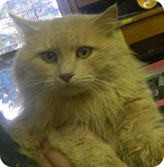 Domestic Longhair Cat for adoption in Randleman, North Carolina - Marcus