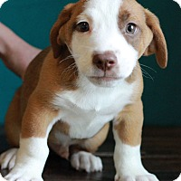 Adopt A Pet :: Arnie - Waldorf, MD