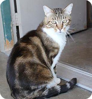 Domestic Shorthair Cat for adoption in Lathrop, California - Moe