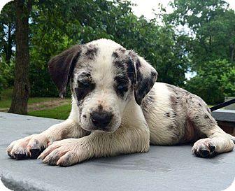 Yonkers, NY - Labrador Retriever/Catahoula Leopard Dog Mix. Meet Ford ...