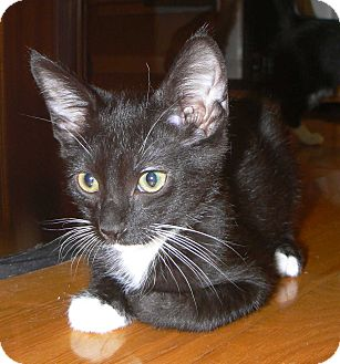 Domestic Shorthair Cat for adoption in Apex, North Carolina - Kayak