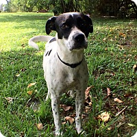 Dalmatian Mix Dog for adoption in Boca Raton, Florida - Freckles