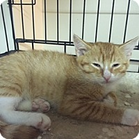 Adopt A Pet :: Pumpkim - Forest Hills, NY