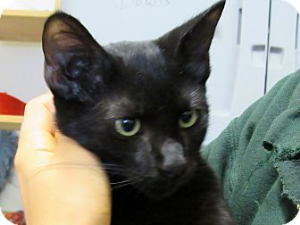 Domestic Shorthair Kitten for adoption in Grinnell, Iowa - George
