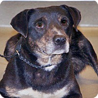 Labrador Retriever Mix Dog for adoption in Wildomar, California - Daryl Dixon