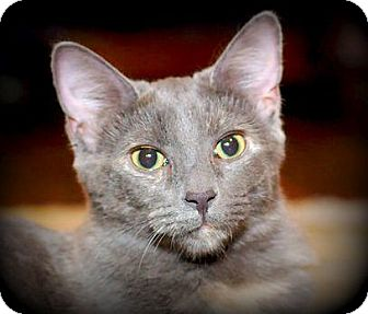 Domestic Shorthair Kitten for adoption in Huntsville, Alabama - Asher