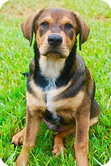 Hound (Unknown Type) Mix Puppy for adoption in Houston, Texas - Magellin