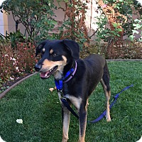 Adopt A Pet :: Percy-PENDING ADOPTION - Santa Clara, CA