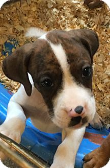 Boxer/Labrador Retriever Mix Puppy for adoption in Pompton Lakes, New Jersey - Darcy pup
