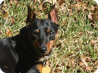 Miniature Pinscher Dog for adoption in Tampa, Florida - Zada (TH)