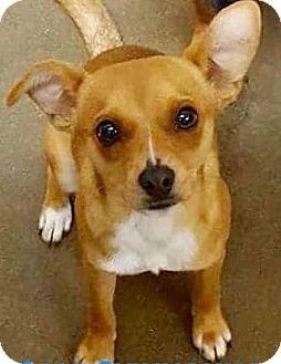 Feist Mix Dog for adoption in Staunton, Virginia - Joe