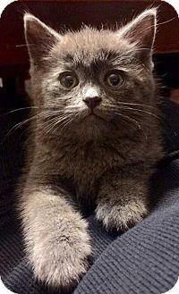 Domestic Mediumhair Kitten for adoption in Northeast, Ohio - Heathcliff - ADOPTION PENDING