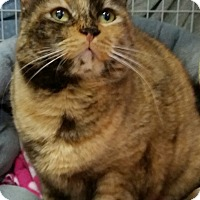 Adopt A Pet :: Phoebe Cali - Diamond Springs, CA