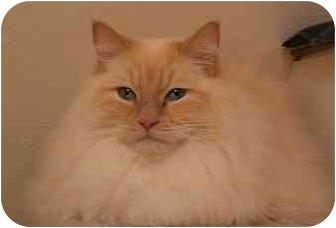 Ragdoll Cat for adoption in Keizer, Oregon - Albert