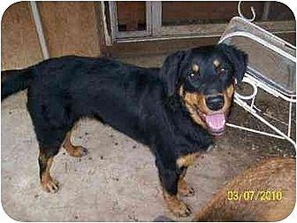 Rottweiler/Australian Shepherd Mix Dog for adoption in Norman, Oklahoma - Meme