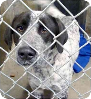 Pointer Mix Dog for adoption in Emory, Texas - Travis
