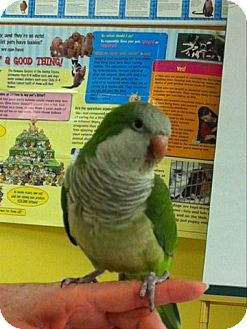 Parakeet - Quaker for adoption in St. Louis, Missouri - Boidie