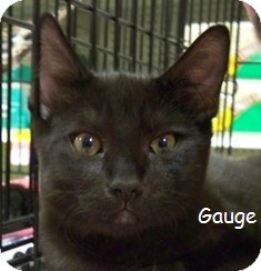 Domestic Shorthair Cat for adoption in Sacramento, California - Gauge V