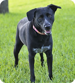 Labrador Retriever Mix Dog for adoption in Norwalk, Connecticut - Precious is perfect