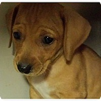 Adopt A Pet :: Blondie - Silsbee, TX