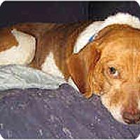 Adopt A Pet :: Dorito - Novi, MI