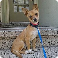 Adopt A Pet :: Amber - Sunnyvale, CA