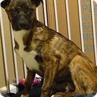 Adopt A Pet :: Cali - Sinking Spring, PA