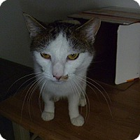 Adopt A Pet :: Milkshake - Hamburg, NY