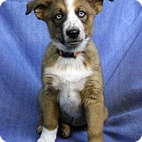 Adopt A Pet :: BRADLEY - Westminster, CO