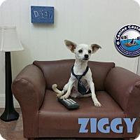 Adopt A Pet :: Ziggy - Arcadia, FL