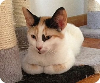 Calico Kitten for adoption in Cleveland, Ohio - Amber