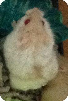 Hamster for adoption in St. Paul, Minnesota - Lollipop