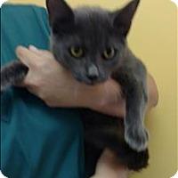 Domestic Shorthair Cat for adoption in Dallas, Georgia - 16-09-2897 Jubilee