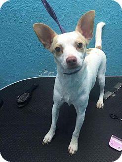 Chihuahua Dog for adoption in Matawan, New Jersey - Rio