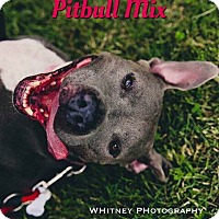 Pit Bull Terrier Mix Dog for adoption in Cheney, Kansas - Moon