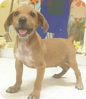 Labrador Retriever Mix Puppy for adoption in Patterson, New York - Tumbler