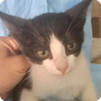 Domestic Shorthair Kitten for adoption in pasadena, California - ANGIE