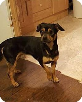 Miniature Pinscher Mix Dog for adoption in Manhattan, New York - Tanner