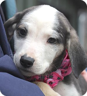 Australian Cattle Dog/Beagle Mix Puppy for adoption in West Grove, Pennsylvania - Cassie