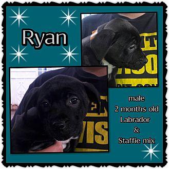 Labrador Retriever/American Staffordshire Terrier Mix Puppy for adoption in Richmond, California - Ryan