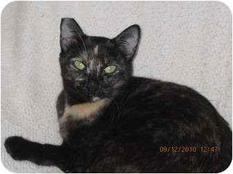 Domestic Shorthair Cat for adoption in Los Angeles, California - Lolita