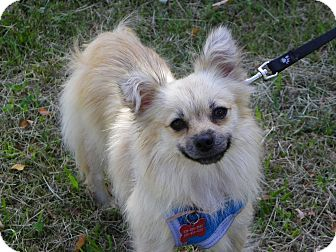 Pomeranian Mix Dog for adoption in Hesperus, Colorado - BRIE