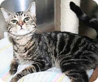 Domestic Shorthair Cat for adoption in Edmonton, Alberta - Ivy
