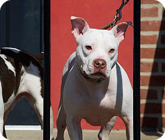 American Pit Bull Terrier/Pit Bull Terrier Mix Puppy for adoption in ...