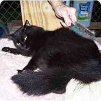 Domestic Longhair Cat for adoption in Winnsboro, South Carolina - Dahlia