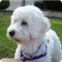 Adopt A Pet :: Beethoven - La Costa, CA