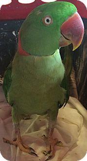 Ringneck for adoption in Burleson, Texas - Mr Ganguli