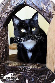 Domestic Shorthair Cat for adoption in Leonardtown, Maryland - Bandit