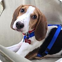 Beagle/Treeing Walker Coonhound Mix Puppy for adoption in Weare, New Hampshire - Sammy